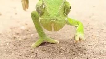 Camaleão Dando Uma Voltinha, Olha Só Que Animal Lindo, Cheio De Detalhes!
