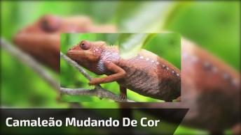 Camaleão Mudando De Cor, Um Vídeo Incrível Que Vale A Pena Compartilhar!