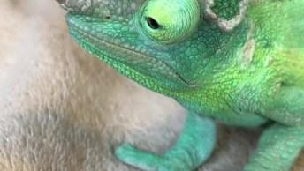 Camelão De Jackson, O Camaleão Que Parece Uma Miniatura De Dinossauro!