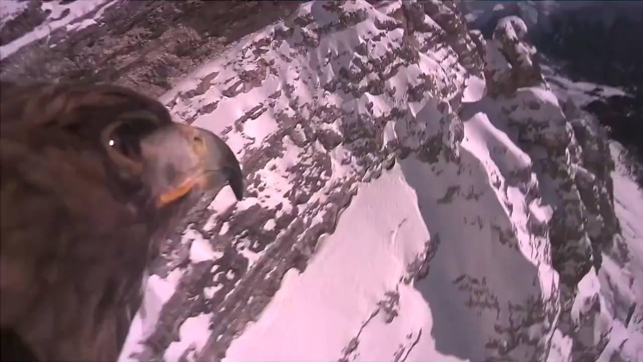 Câmera acoplada a uma águia