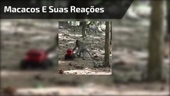 Câmera Escondida Capitando Reações De Macacos, Ao Receber Uma Sacola!