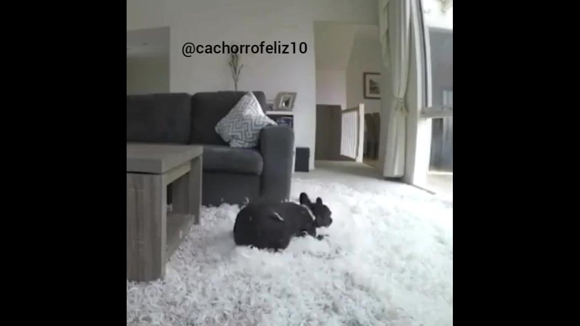 Câmera escondida flagra o dia de um cachorro sozinho em casa