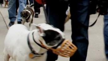 Campanha Contra O Preconceitos Com Os Pits Bulls, Igualdade Para Os Cachorros!