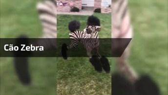 Cão Zebra, Consegue Dizer Se Isso É Uma Zebra Ou Um Cachorro?