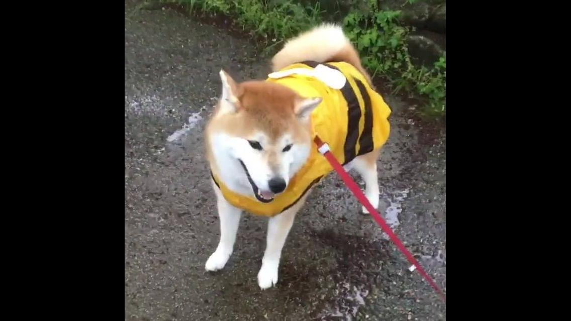 Capa de chuva para cachorro, além de proteger ele, deixa ele super fofinho!