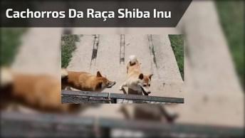 Casa De Cachorros Da Raça Shiba Inu, Um Lugar Muito Lindo!
