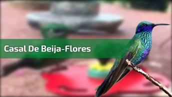 Casal De Beija-Flores, Veja Como Eles São Lindos, Perfeição Da Natureza!