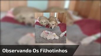 Casal De Labrador Observando Os Filhotinhos, Veja Que Cena Mais Linda!