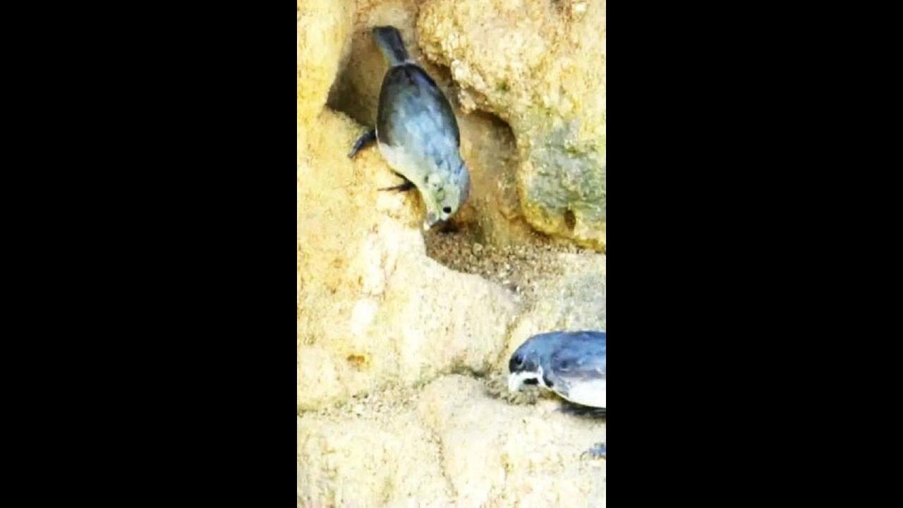 Casal de passarinho da especie coleiro se alimentando