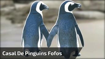 Casal De Pinguins Em Lua De Mel, Caminhando De Mãos Dadas Na Praia!