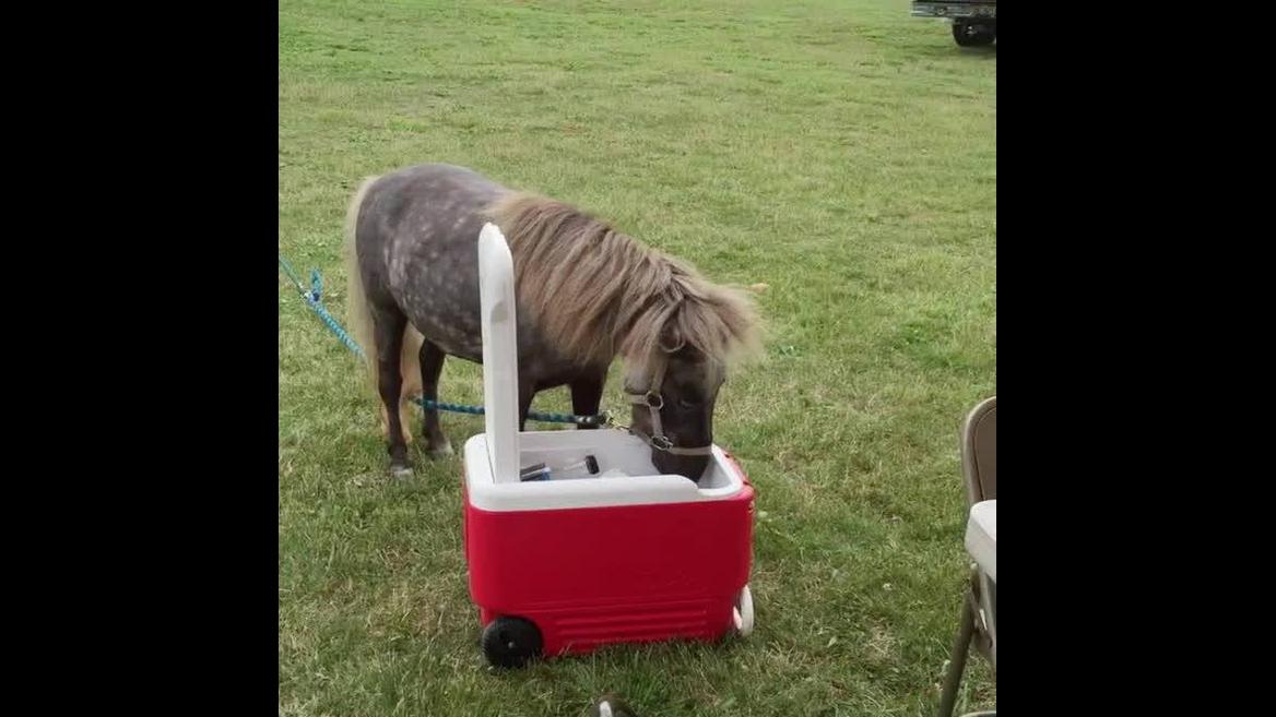 Cavalinho abrindo caixa de gelo e tentando pegar algo