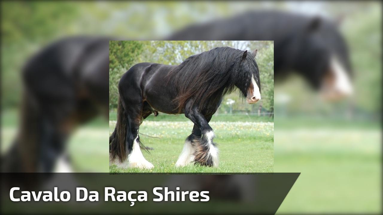 Cavalo da raça Shires