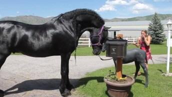 Cavalo De Raça Lindíssimo, Olha Só O Tamanho Dele É Maravilhoso!