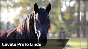 Cavalo Preto Lindo, Veja O Brilho De Sua Pelagem E Calda Maravilhosa!