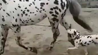 Cavalo Tem Pintas Igual A Um Dalmata, Olha Só Que Interessante!