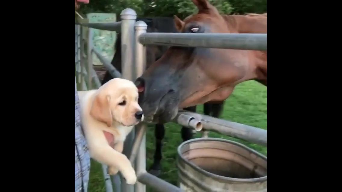 Cavalos conhecendo filhote de cachorro