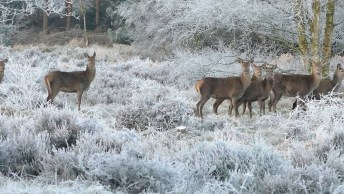 Cervos Andando Por Uma Floresta No Inverno, Muito Linda As As Imagens!