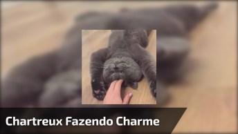 Chartreux Fazendo Charme Para Seu Dono, Olha Só Esta Carinha Linda!