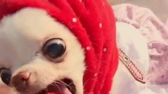 Chihuahua Comendo Moranguinho, Olha Só Que Coisinha Mais Fofinha!