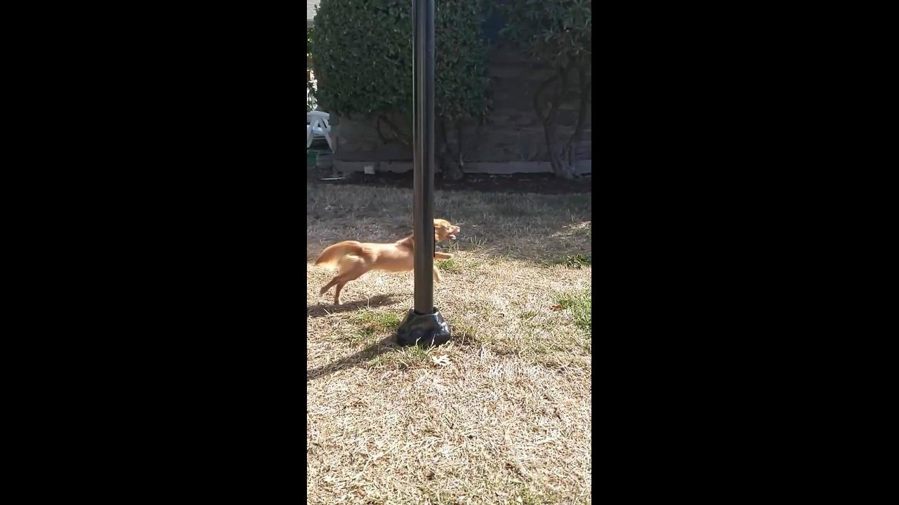 Chihuahua correndo em câmera lenta