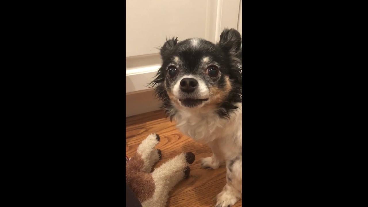 Chihuahua falando com a mamãe