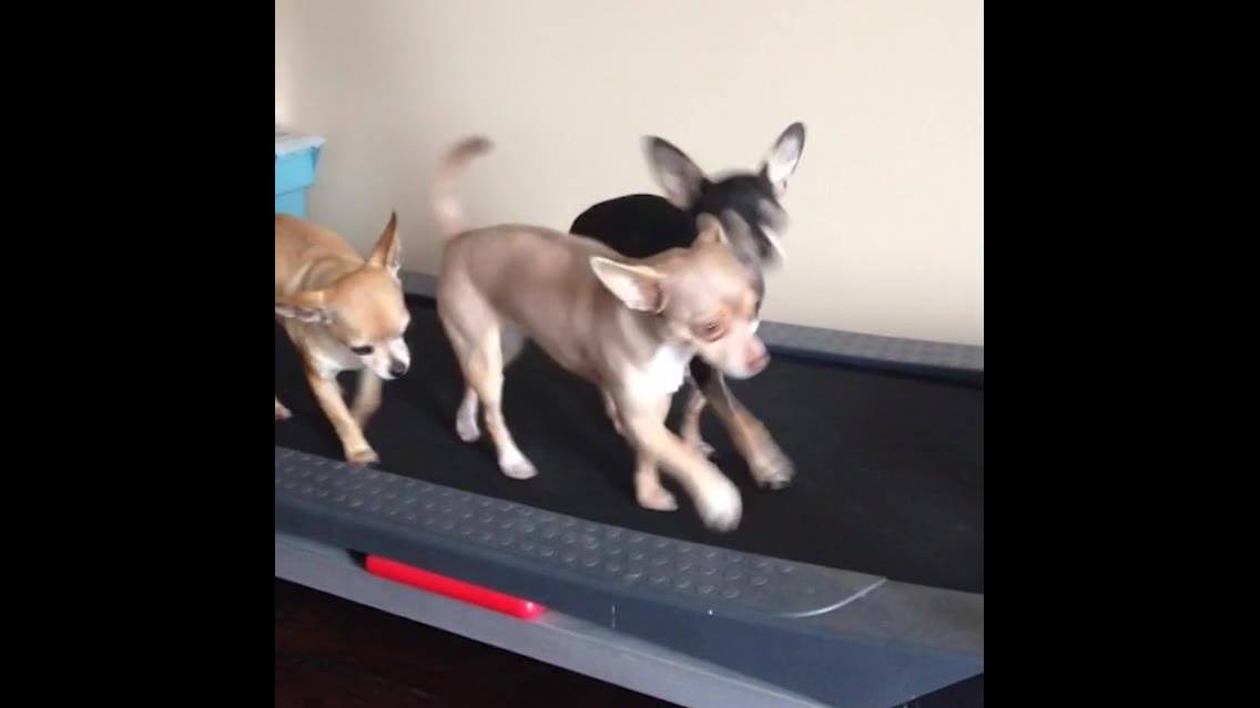 Chihuahuas e suas travessuras