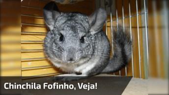 Chinchila De Cor Cinza Fofinho, Veja Que Coisinha Mais Lindinha Esta Animal!