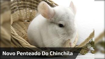 Chinchila Que Adora Ser Penteado Olha Só A Carinha Deste Animal!