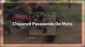 Chipanzé Adora Passear De Moto, Veja Como Ele Reage Se Não For, Kkk!