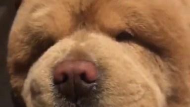 Chow Chow, Um Cachorro Tão Fofinho Que Parece Um Ursinho De Pelúcia!