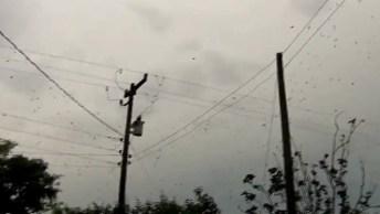 'Chuva' De Aranhas, Alguém Teria Coragem De Passar Embaixo?
