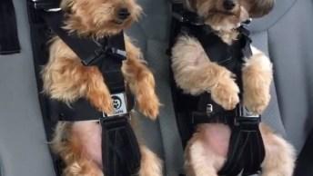 Cinto De Segurança Para Seu Cãozinho, Veja Porque É Tão Importante!