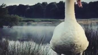 Cisne Com 2 Filhotinhos, Veja Que Animal Lindo, Encantador!