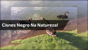 Cisne Preto Alimentando Os Peixes Do Lago, Olha Só Que Imagem Fantástica!
