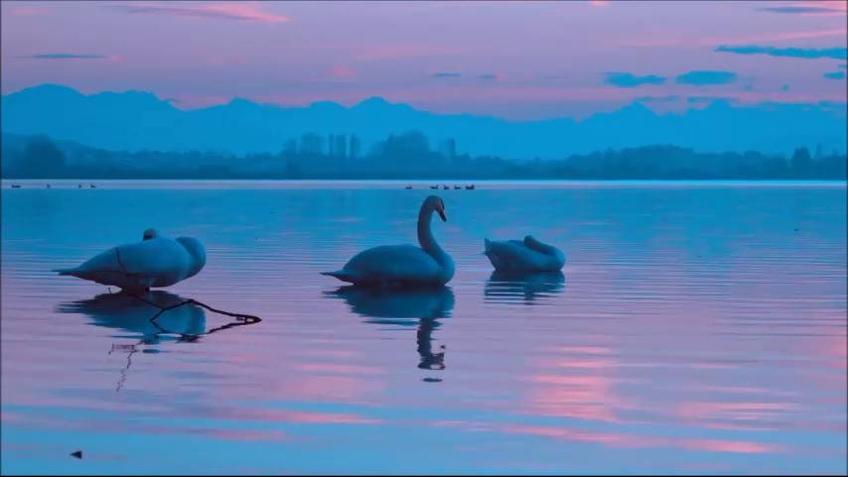 Cisne s em um lago no por do sol.