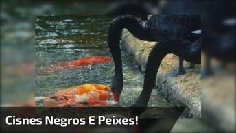 Cisnes Negros Alimentando Os Peixes, Que Cena Mais Linda!