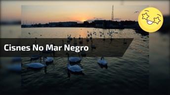 Cisnes No Mar Negro, Lindas Imagens Para Compartilhar, Confira!