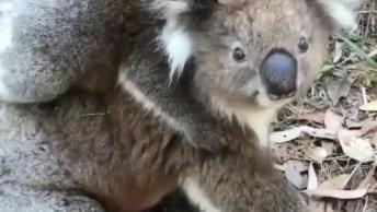 Coala Com Seu Filhotinho Nas Costas, Como Este Animal É Fofinho!