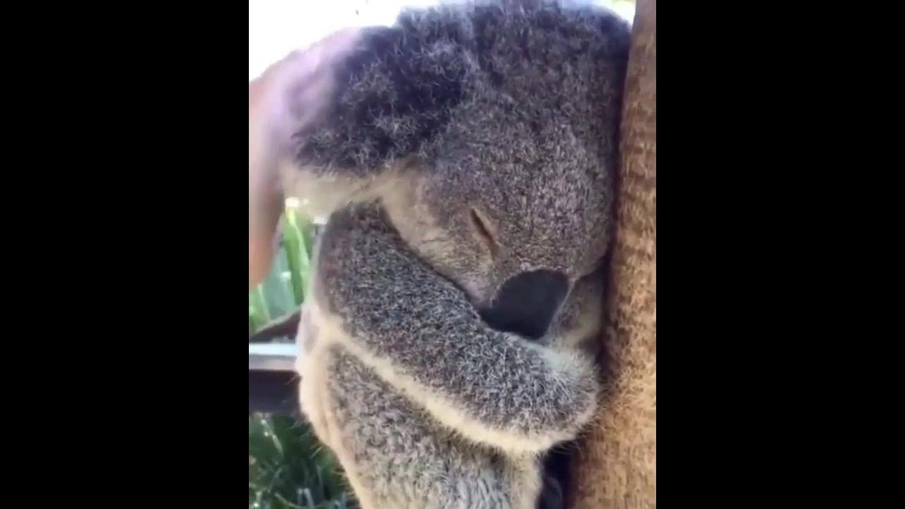 Coala, o animal mais fofo que você vai ver hoje