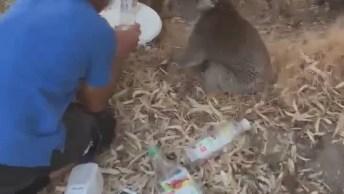 Coala Tomando Água Na Austrália, O Verão É Muito Intenso Neste Lugar!