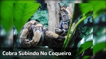 Cobra Gigante Subindo No Coqueiro, Olhe Para Cima Também Quando Estiver Andando!