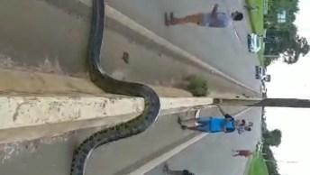 Cobra Sucuri Atravessando Uma Rodovia, Olha O Tamanho Dela!