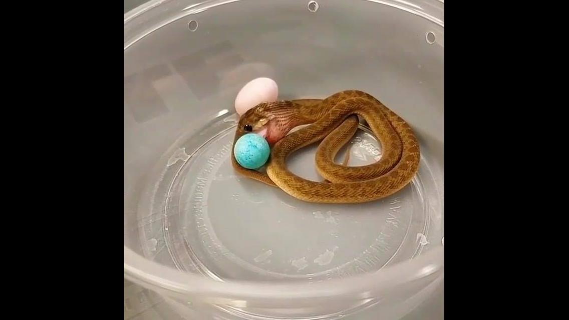 Cobra tentando engolir comida inteira, veja como ela faz isso!