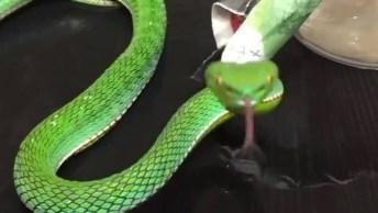Cobra Verde Percebe Que Esta Sendo Filmada E Vira Para A Câmera!