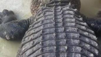 Colocando A Mão Em Um Crocodilo, Será Que Você Teria Coragem?
