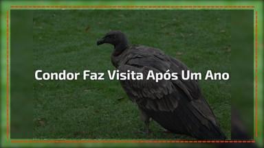 Condor Voltando Depois De Um Ano Para Ver Veterinário Que A Salvou!