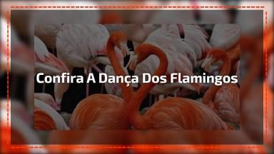 Confira A Dança Dos Flamingos Em Um Lago No Cazaquistão!