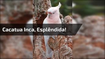 Conheça A Cacatua Inca, Um Animal De Esplendida Beleza E Graça!