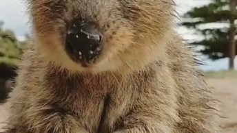 Conheça A Quokka', É Uma Espécie De Marsupial Da Família Macropodidae!