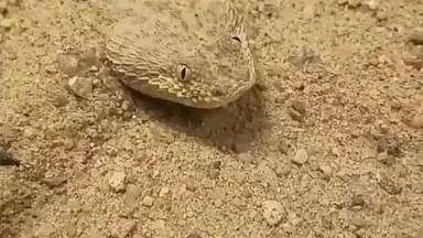 Conheça A Víbora Do Deserto Da Namíbia, Veja Como Ela Se Esconde Na Areia!